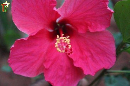 Une fleur d'hibiscus à Lomé Photo Gaetan Noussouglo